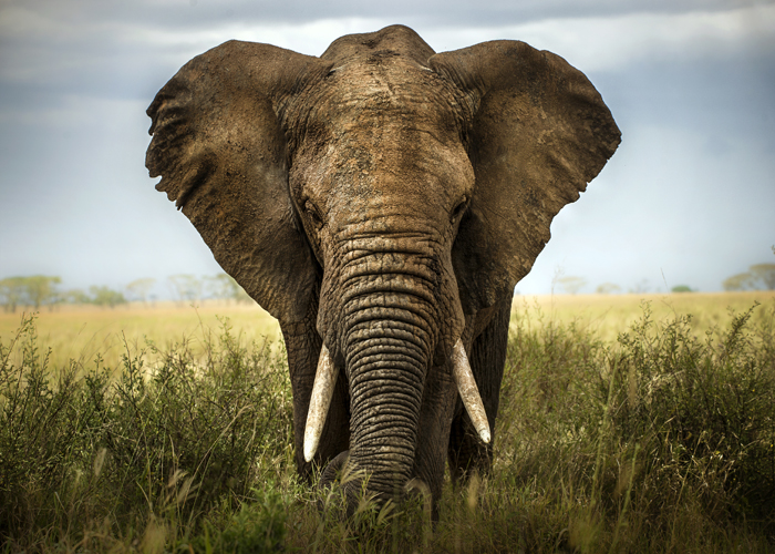 A wild African elephant