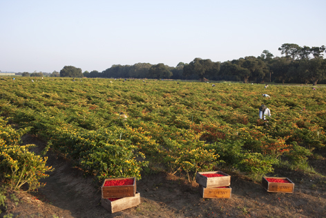 Crates of Tabasco peppers in a field
