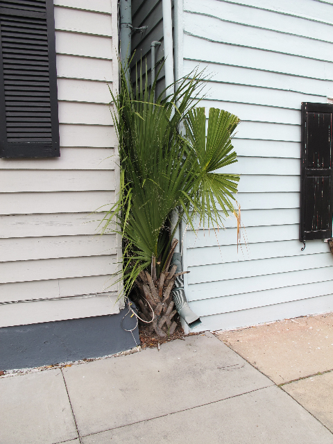 A palmetto palm between two buildings in Charleston, SC