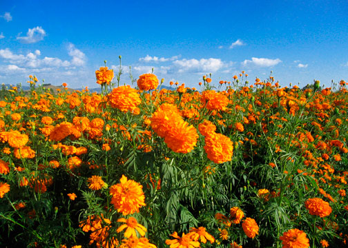 Marigolds in Oaxaca state
