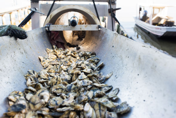 Local oysters going through machine, Gulf Shores, Alabama